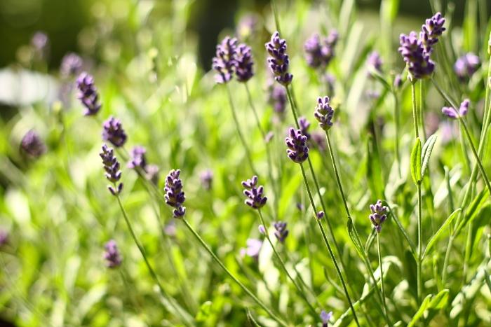 Lavendelpflanzen